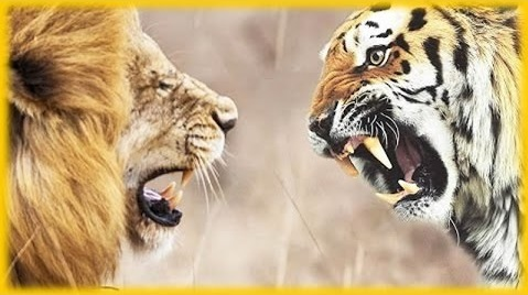 Tigers-Lions